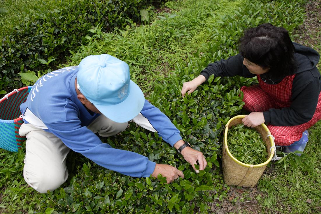 /data/project/113/檜山茶 摘み取り51.jpg