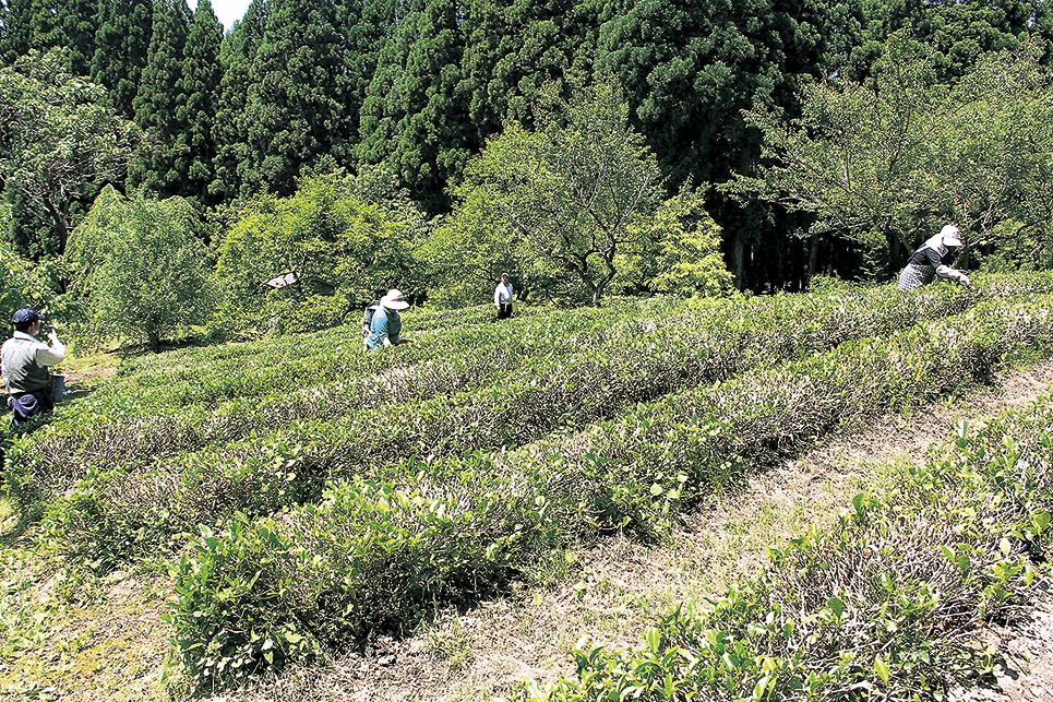 /data/project/113/檜山茶・茶畑.jpg