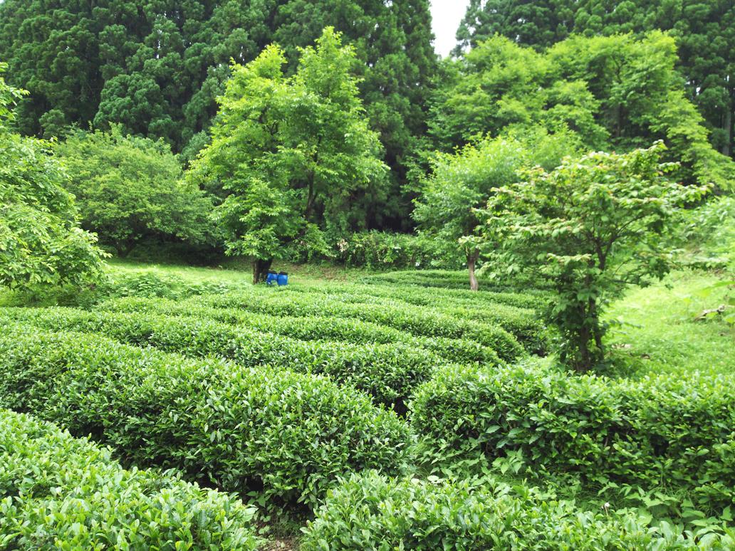 /data/project/113/茶樹を育成へ.jpg